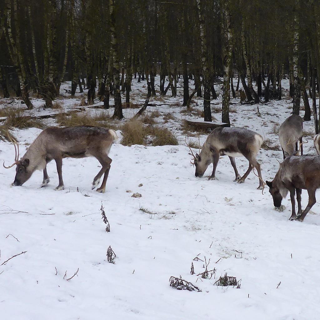 Rentiere suchen Futter in einem Birkenwald