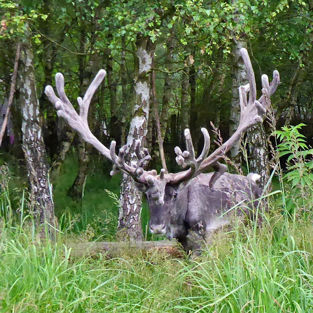 Rentier im Birkenwald im Tierpark Sababurg