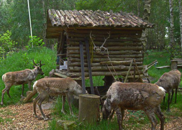 Hungrige Rentiere im Birkenwald des Lapplandlagers in Nordhessen